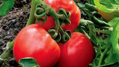 Как защитить овощи от фитофтороза