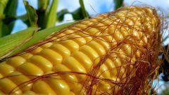 Кукуруза сахарная - лакомый продукт
