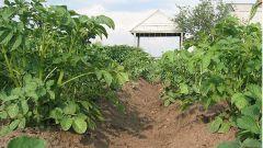 Как ухаживать за посадками картофеля
