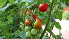 Как просто вырастить помидоры черри на подоконнике