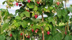 Как посадить на участке малину