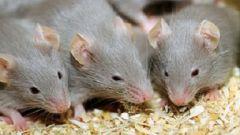 Как легко избавиться от мышей