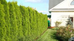 Как на участке сделать живую изгородь