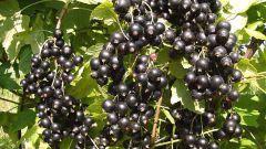 Varieties of black currant, resistant to powdery mildew