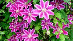 Что нужно для цветения клематисов
