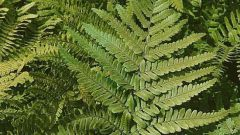 Как использовать листья папоротника