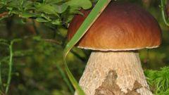 Как вырастить белые грибы на своей даче