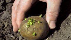 Как подготовить картошку для посадки