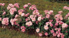 Как обрезать полиантовые розы
