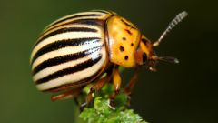 How to get rid of Colorado beetles