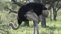Какую птицу считают самой большой