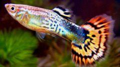 Чем лечить аквариумных гуппи от плавниковой гнили