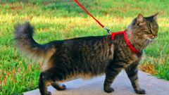 How to teach a cat to walk on the street