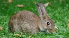 Почему в Австралии была проблема с кроликами