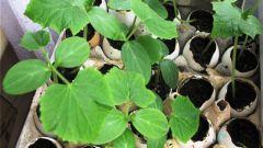 Как вырастить рассаду огурцов в яичной скорлупе