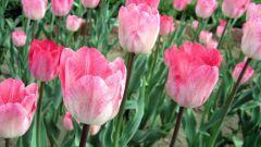 Как посадить и вырастить тюльпаны