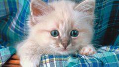 Какие прививки необходимо делать котенку