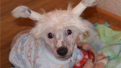Как поставить уши китайской хохлатой собаке