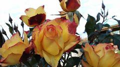 Сорта роз пригодные для выращивания в средней полосе России
