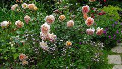 Как посадить и вырастить розы на даче