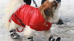 Как выбрать зимние сапоги для собаки