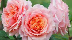 Полезные свойства розового масла