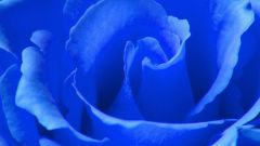 How to grow a blue rose