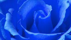 Как вырастить синюю розу