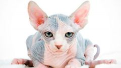 How to care for a cat of breed the canadian Sphynx