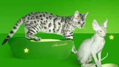 Кого выбрать котенка бенгала или египетской лысой кошки?