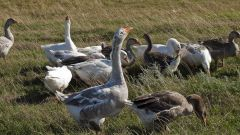 Правила разведения гусей