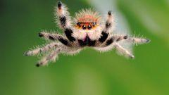 Как охотятся пауки-скакунчики