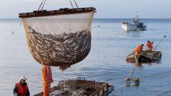 Какая промысловая рыба водится в Атлантическом океане