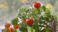Как замедлить рост помидоров
