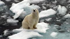 Дикие обитатели Северного Полюса