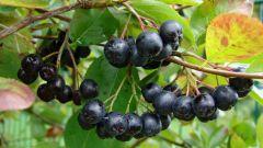 Что приготовить из черноплодки