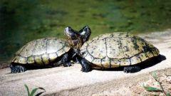 Как разводить водных черепах