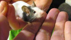 Как перестать бояться мышей