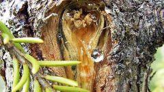 Как можно использовать смолу хвойных деревьев