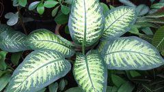 Почему у диффенбахии желтеют листья
