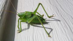 Grasshopper than a locust