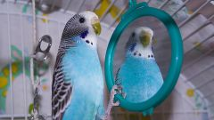 Why the parrot looks in the mirror