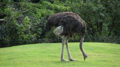 Why the ostrich hides its head in the sand