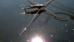 Как водомерки удерживаются на воде