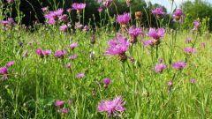 Выращиваем луговые цветы