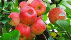 Как обработать яблоки от паразитов