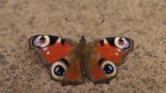 Как узнать пол бабочки