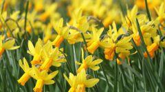 Почему символом Уэльса является желтый нарцисс