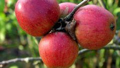 Как выбрать сорт яблони для сада