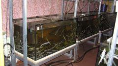 Как в аквариуме вырастить рыбу на убой